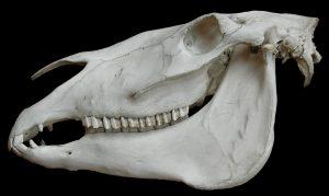 Horse skull. Museum d'histoire naturelle. Paris.
