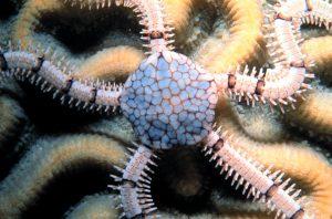 A brittle star, Ophionereis reticulata (Wikipedia public domain)
