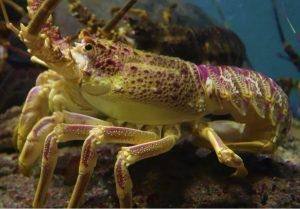 A speedy lobster, in repose